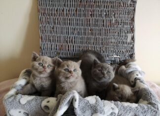 British Shorthair: Where To Buy These Cat Breeds