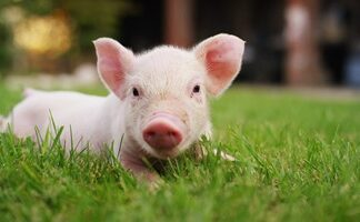 Your Complete Guide On What Pigs Eat