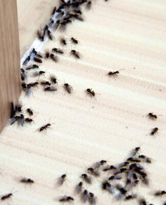DIY Ant Treatment